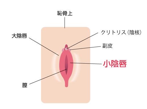 小陰唇の場所の画像